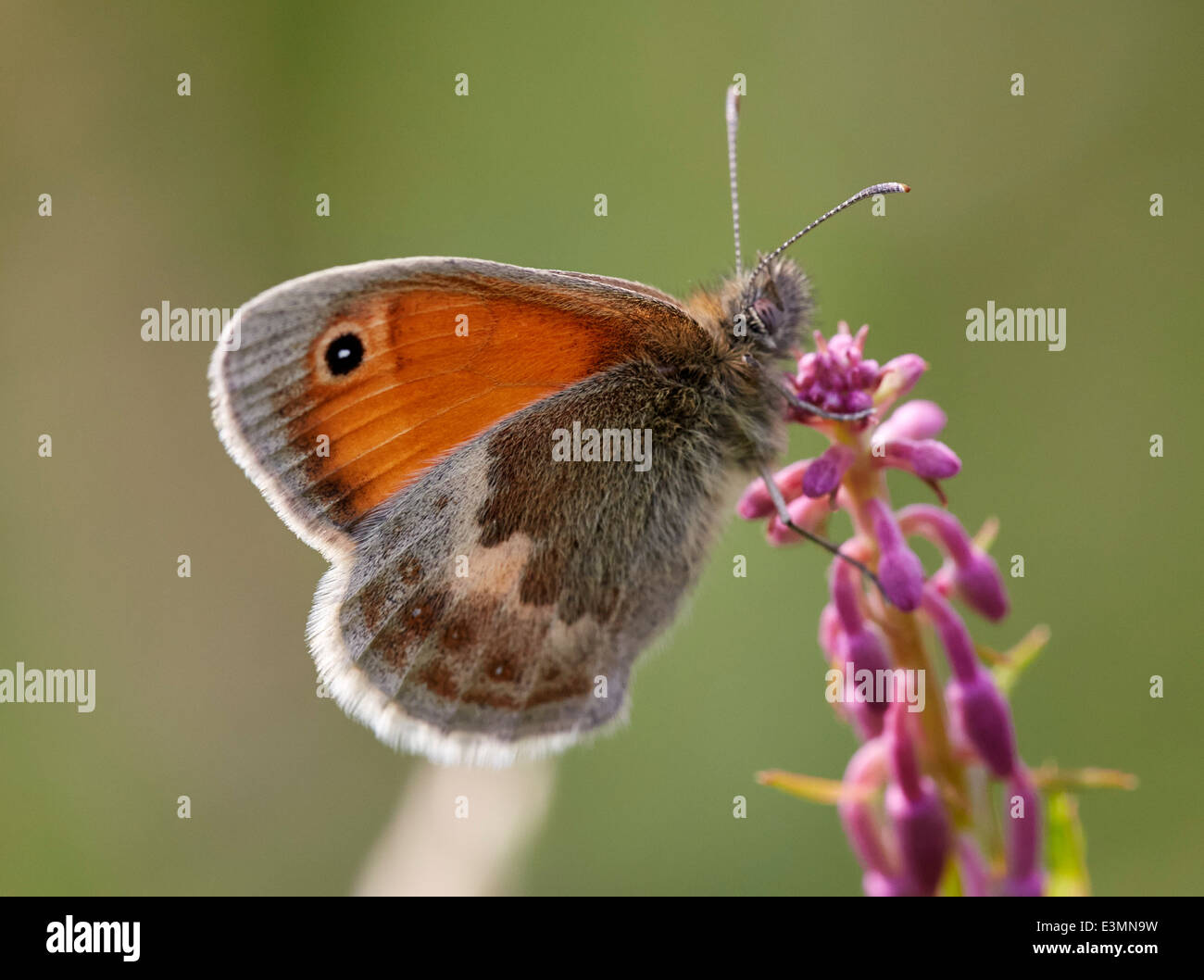 Small Heath butterfly. Mitcham Common, Surrey, England. - Stock Image