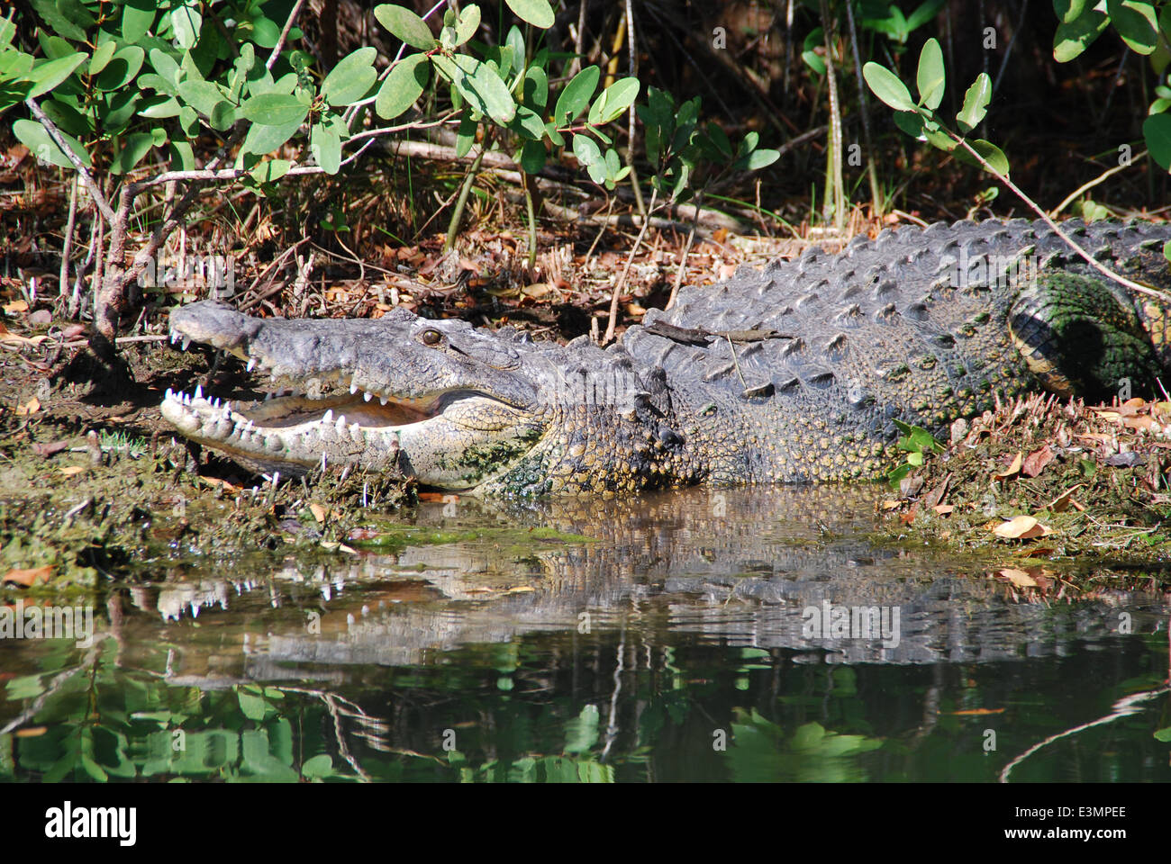 Open-mouthed crocodile in Mexican river. - Stock Image