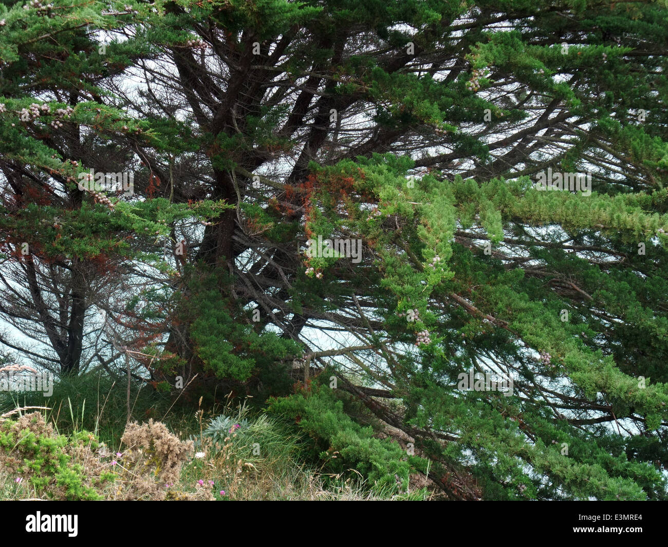 conifer detail seen at Cap Frehel in Brittany, France - Stock Image