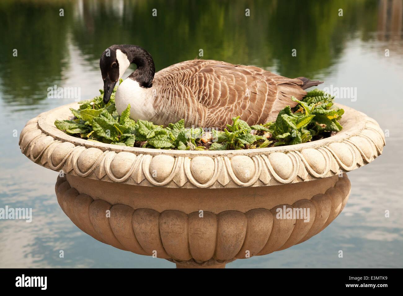 A duck in Kew Royal Botanic Garden,London,UK - Stock Image