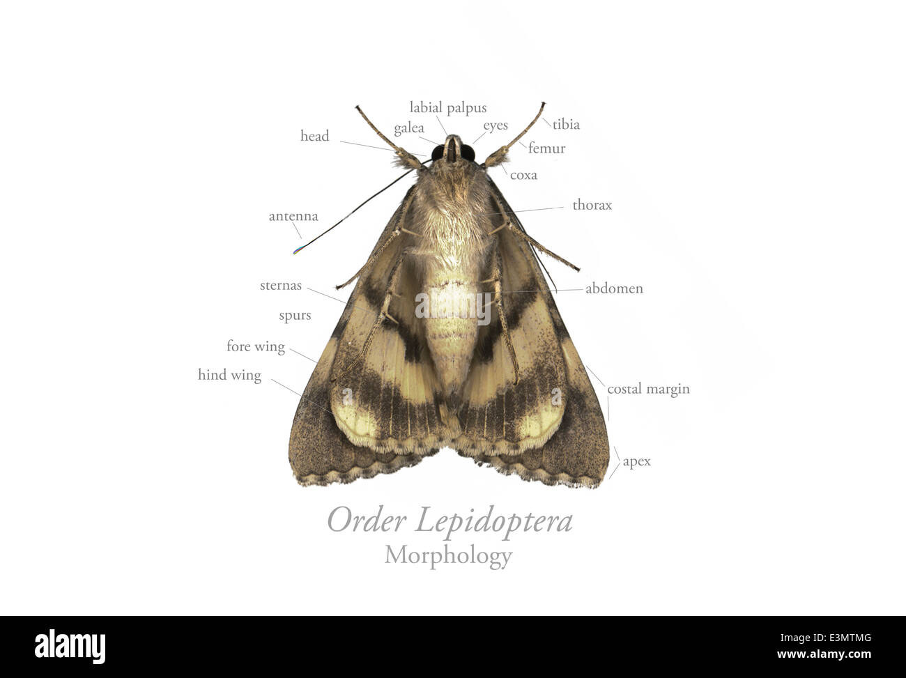 Lepidoptera, moth, morphology Stock Photo: 71143872 - Alamy
