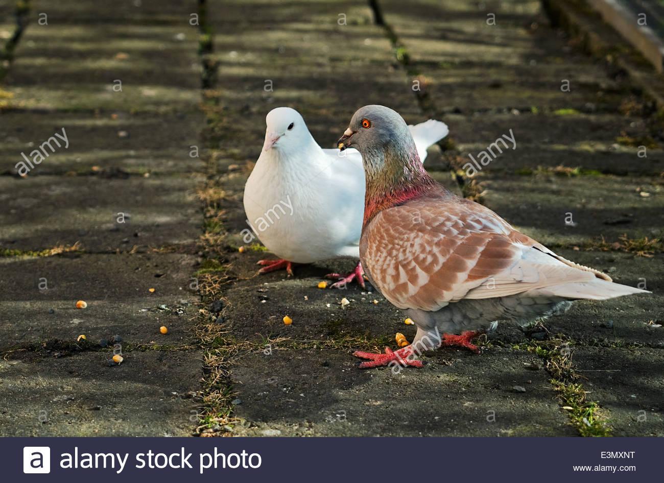 Zwei Zuchttauben fressen Maiskörner(Two breeding doves eat maize corns) - Stock Image