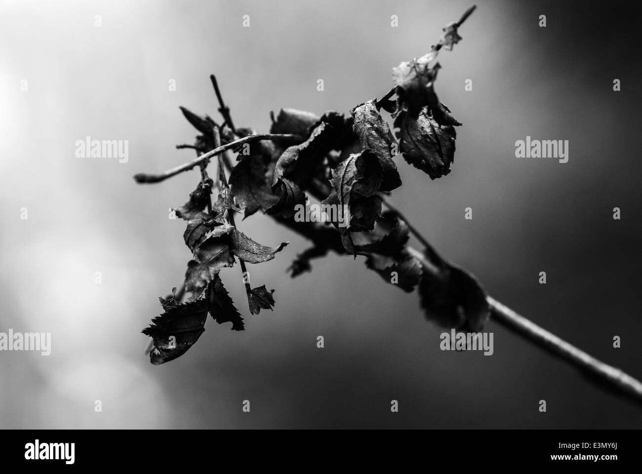 A close up black and white shot of a dead branch with leaves against a warm evening background. - Stock Image
