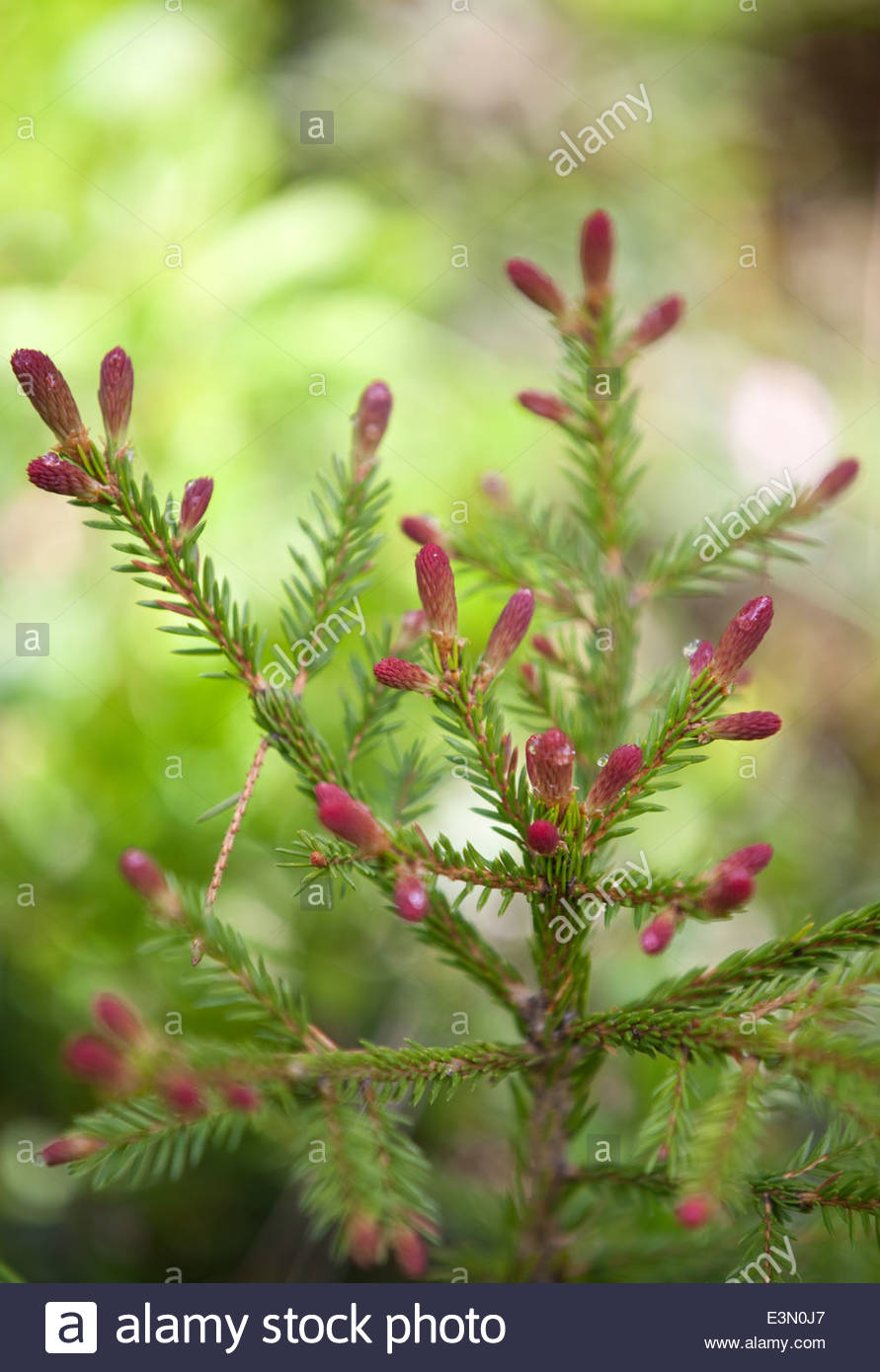 Blooming fir tree - Stock Image