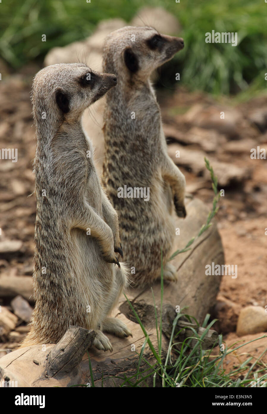 Two meerkats standing to attention and looking away from camera. Wildlife park. - Stock Image