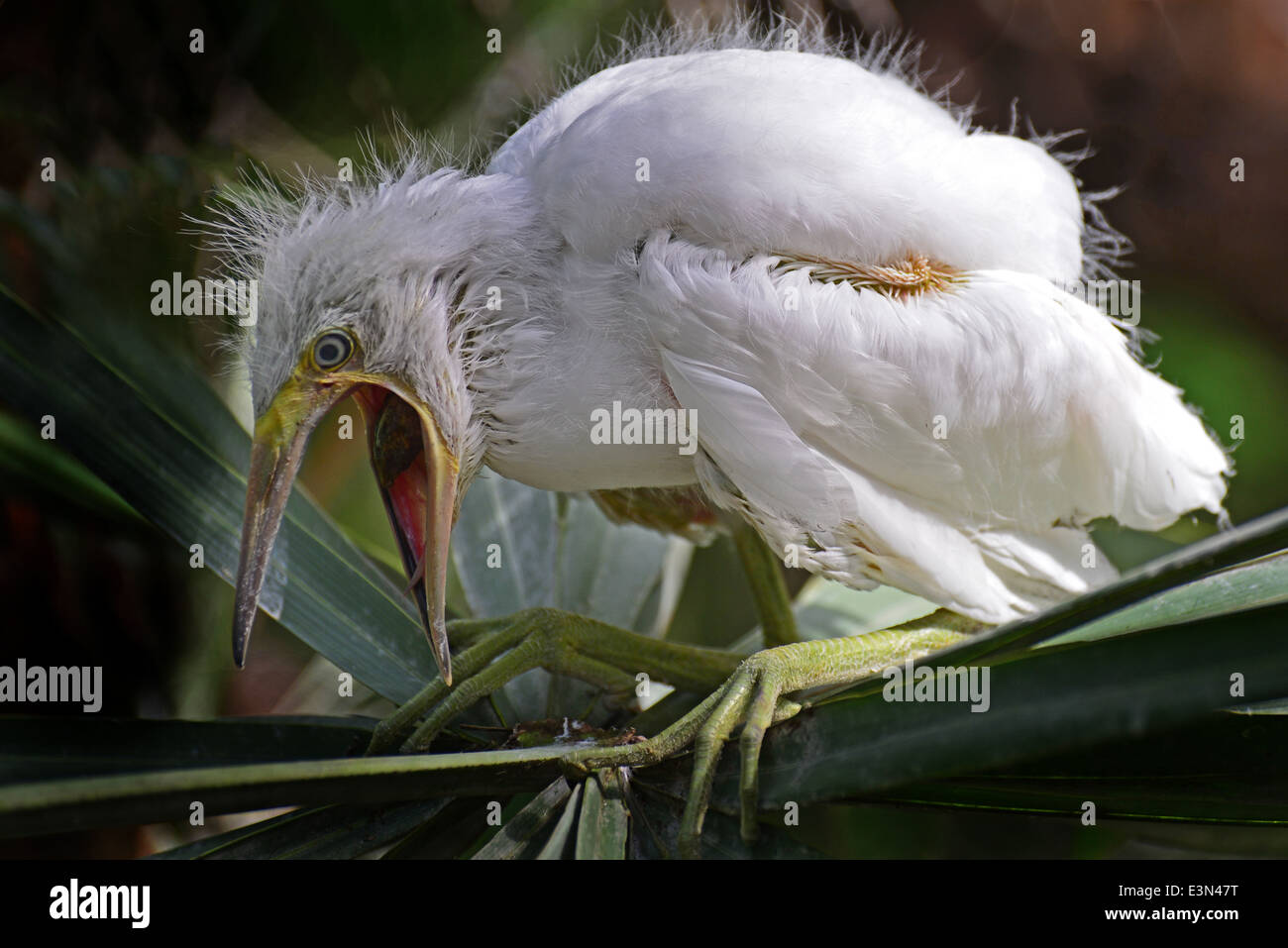 An egret chick squawks loudly on being pushed out of its nest - Stock Image