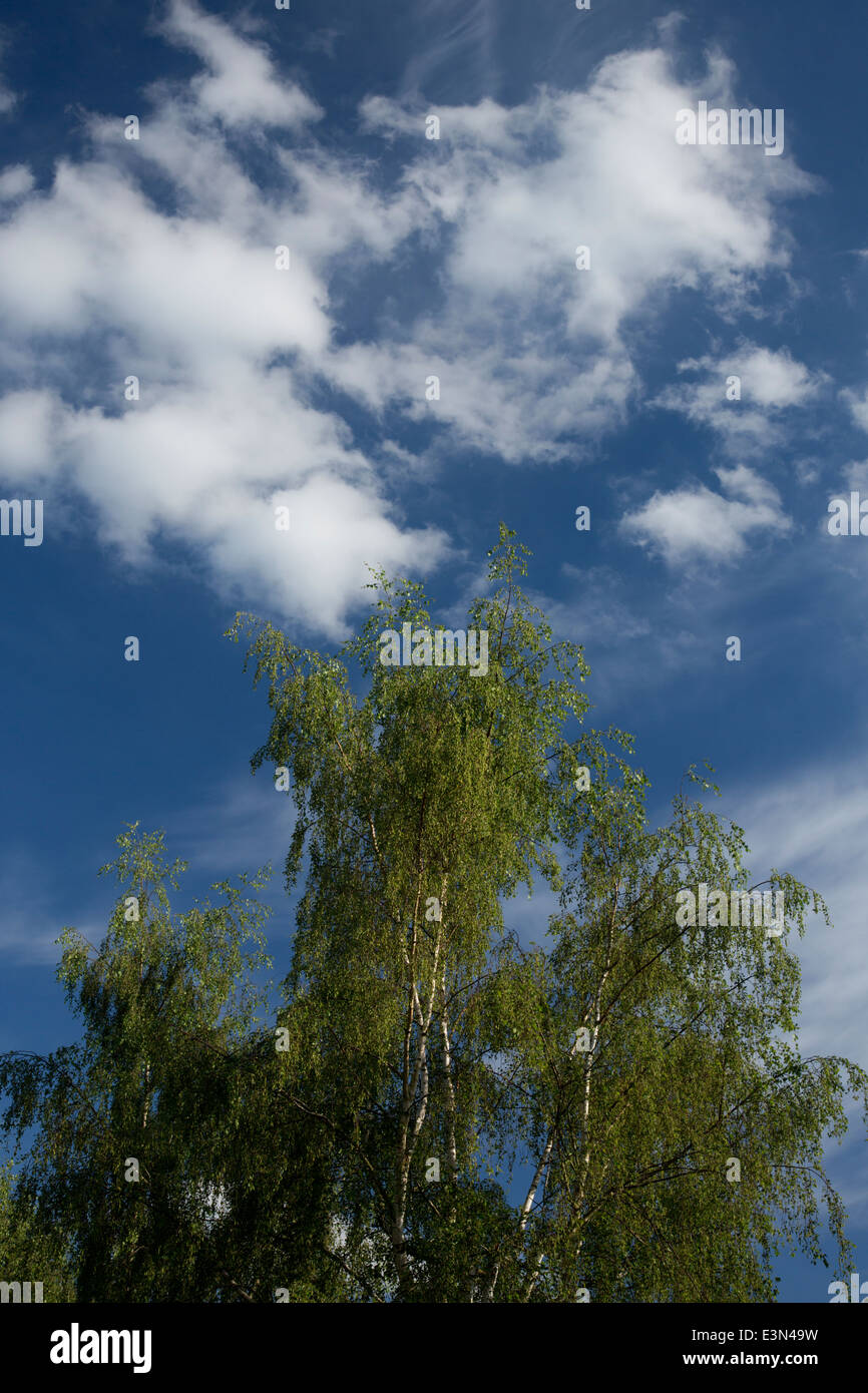 Silver Birch with blue sky and white cloud - summer - Stock Image