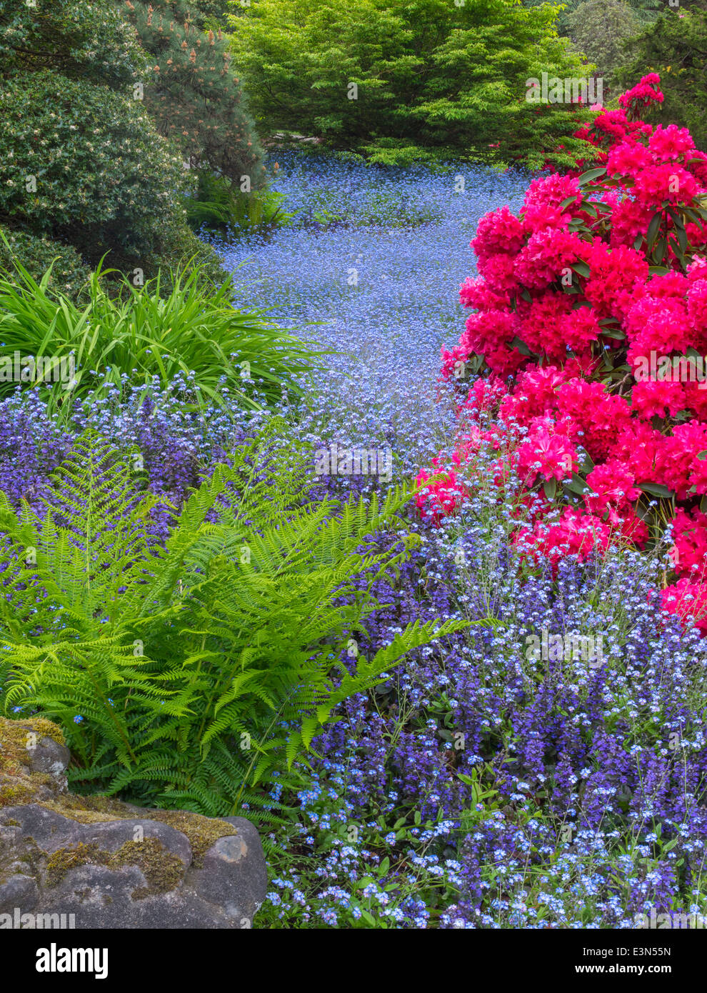 Seattle, WA Kubota Garden city park, spring view of blue forget-me-nots among red rhododendron blossoms - Stock Image