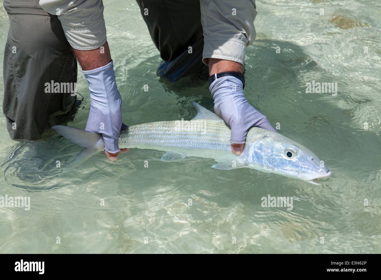 Saltwater fly fishing for bonefish in the islands of the Bahamas - Stock Image