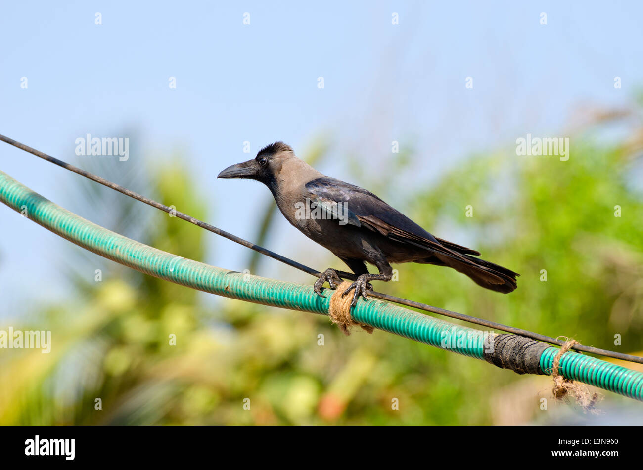 Cawing Stock Photos & Cawing Stock Images - Page 3 - Alamy