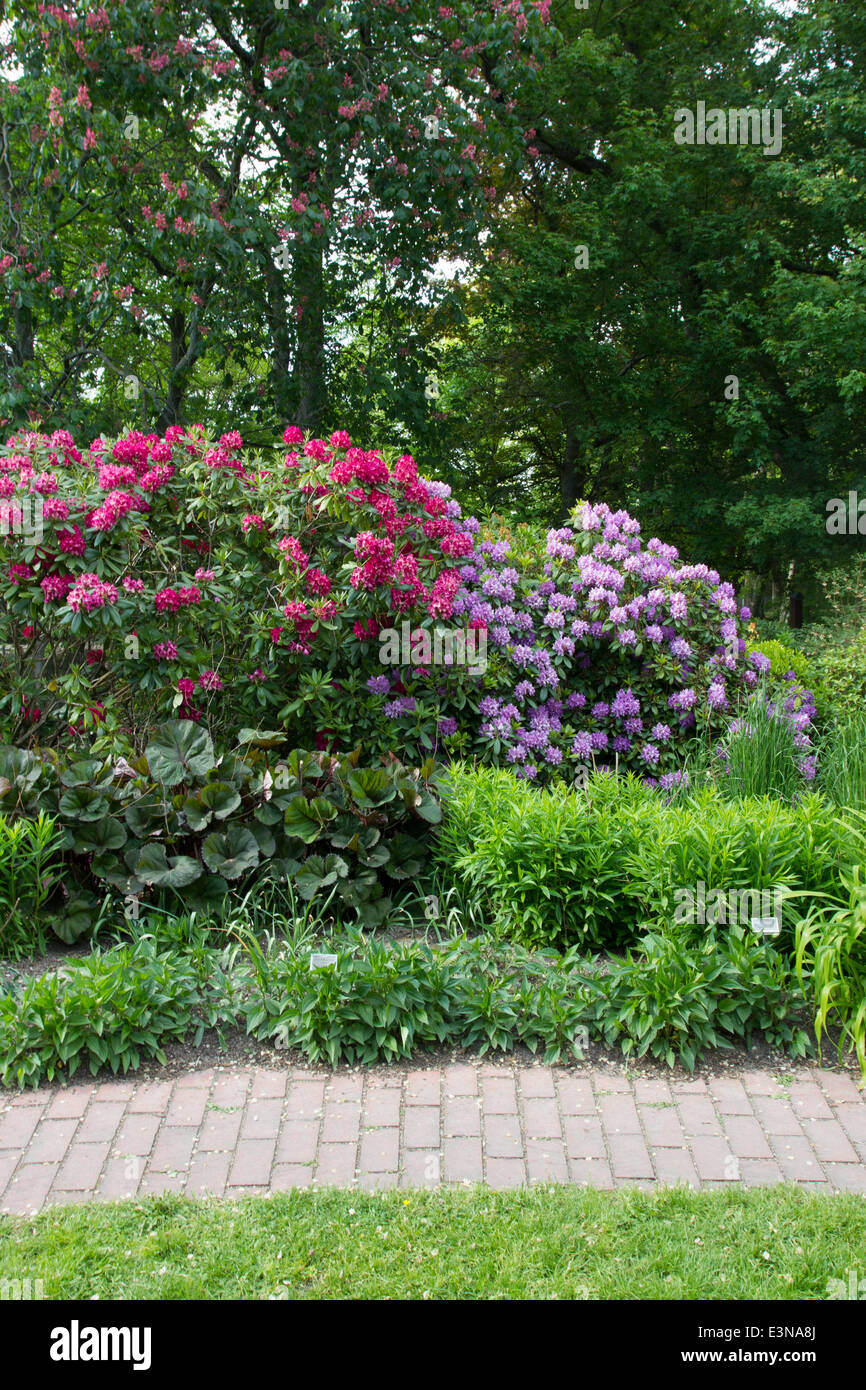 Flowering rhododendrons in the botanical garden in Visby, on the island of Gotland, Sweden - Stock Image