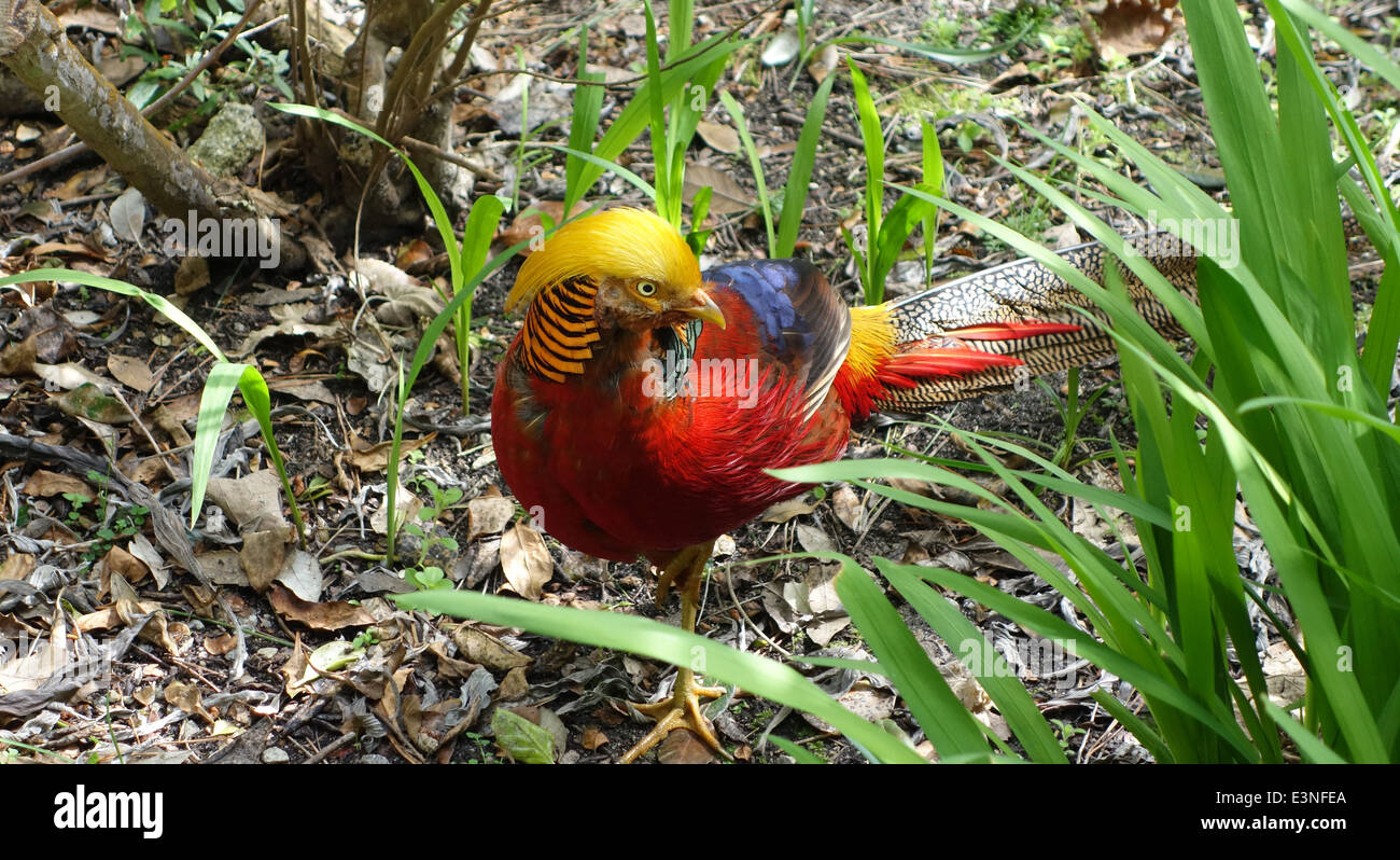 Golden Pheasant in Tresco Tropical Gardens, Isles of Scilly - Stock Image
