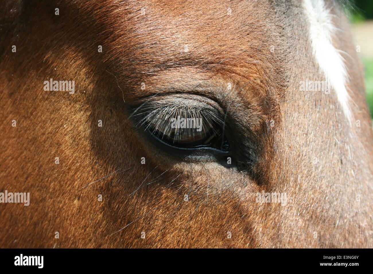 Pferdeauge Stock Photo