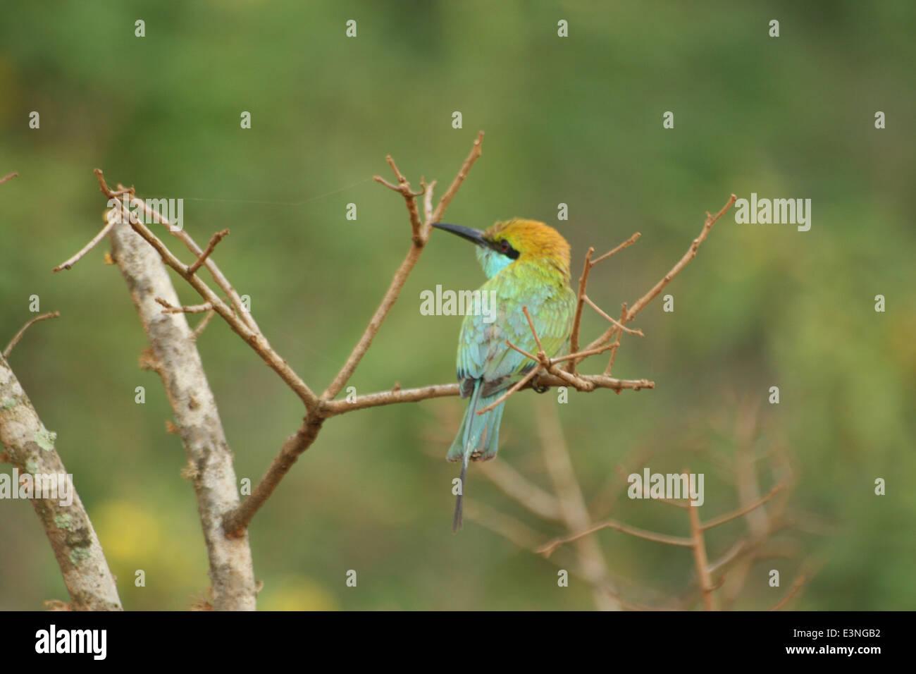 Bienenesser Vogel - Stock Image