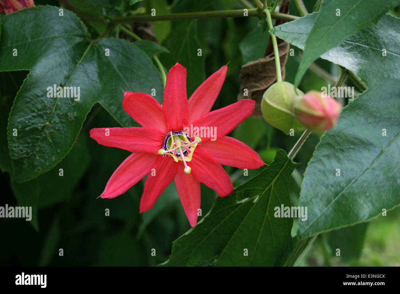 Rote Blüte Asien - Stock Image