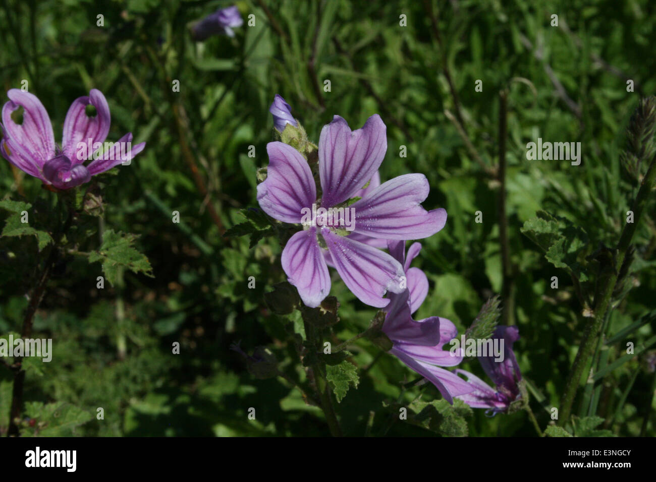 Blüte violett - Stock Image