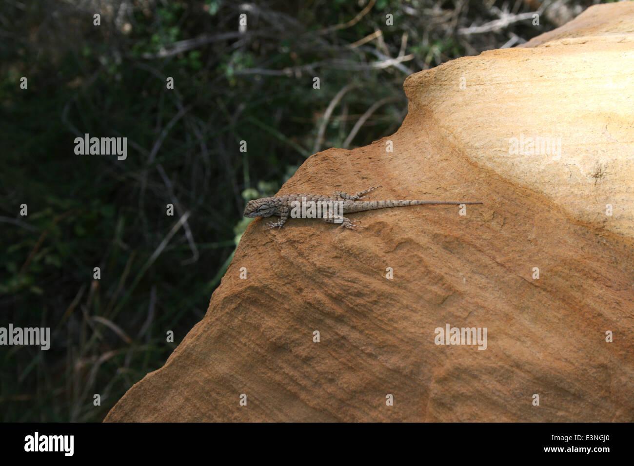 Eidechse auf dem Felsen - Stock Image