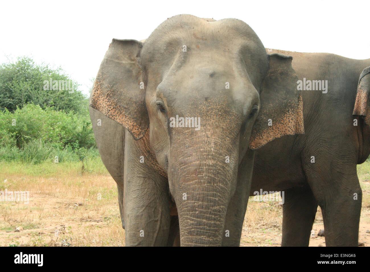 Elefant Portrait Stock Photo
