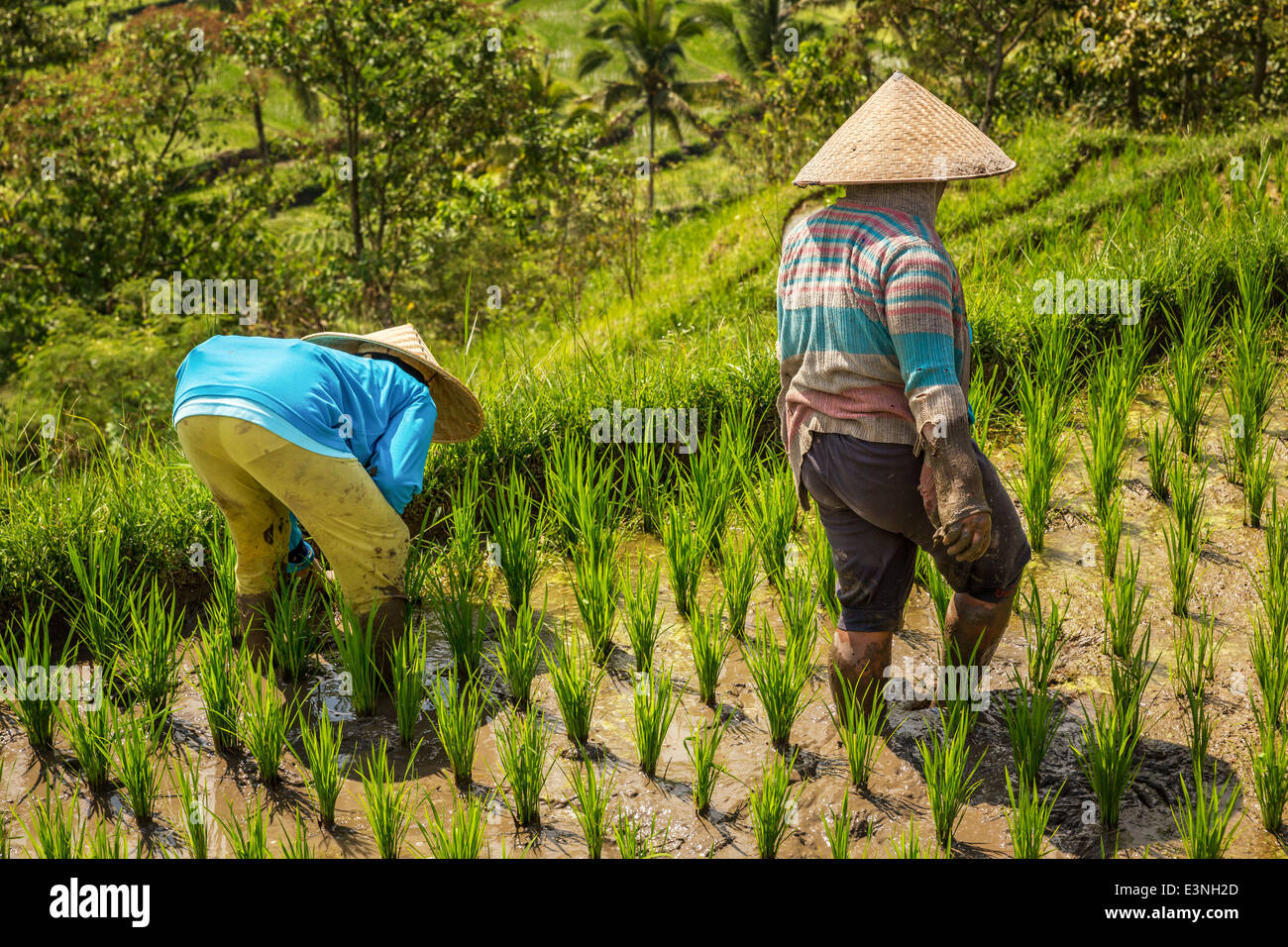 Female farmers walking through lush rice terraces on Bali, Tegallalang, Indonesia - Stock Image