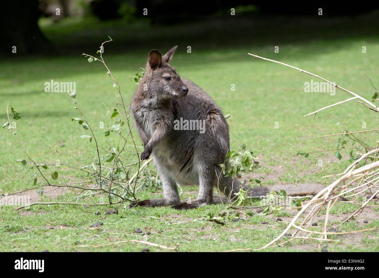 Känguru Stock Photo