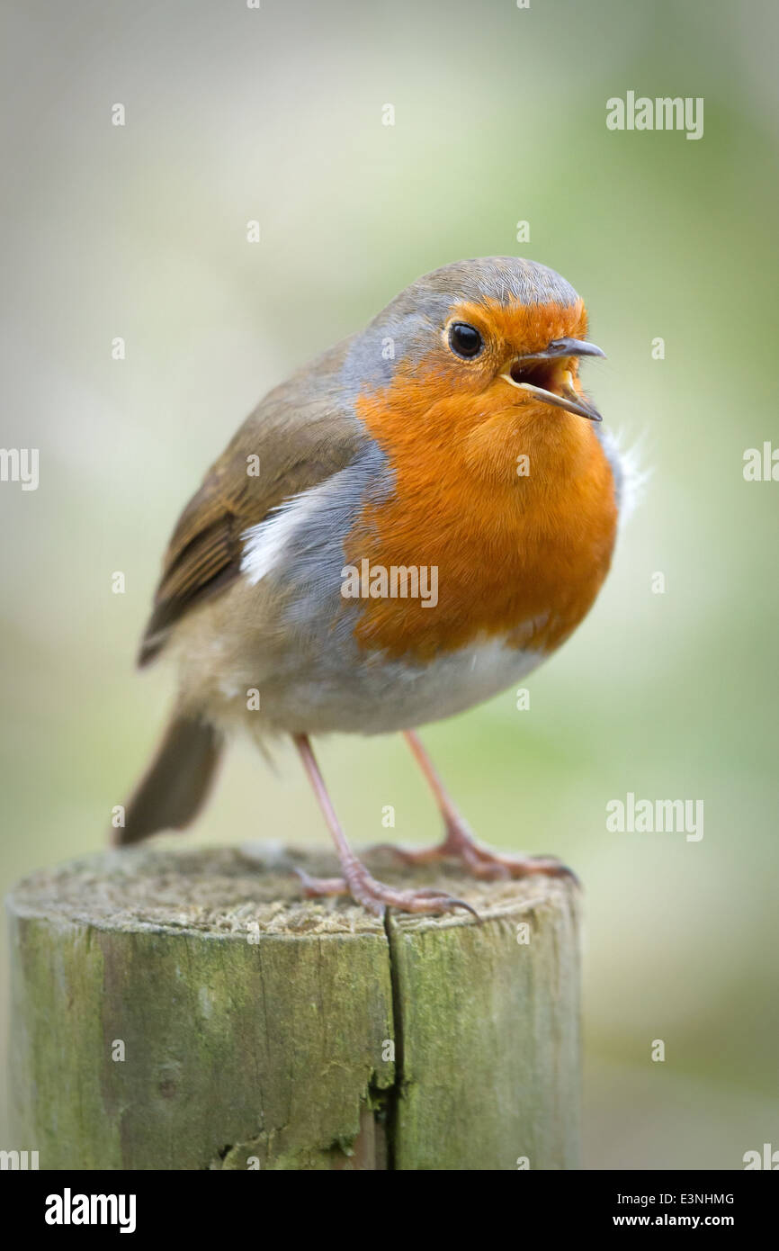 A Robin perched on a fence post at Askham Bog Nature Reserve, York, England. - Stock Image