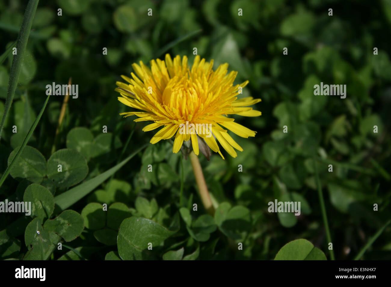 Löwenzahn gelb - Stock Image