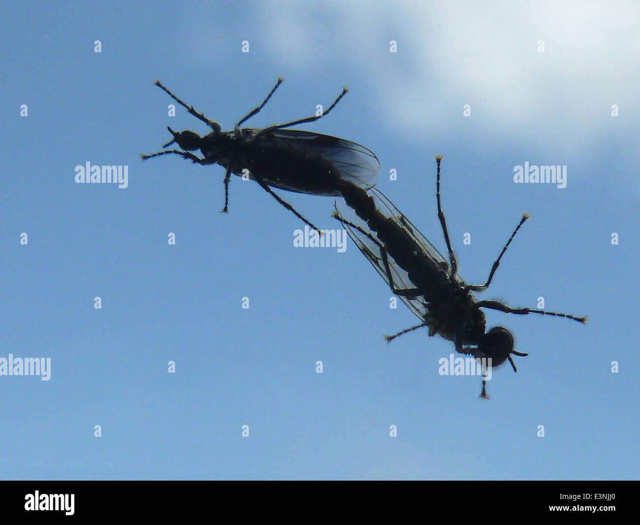 Insektenpaarung - Stock Image