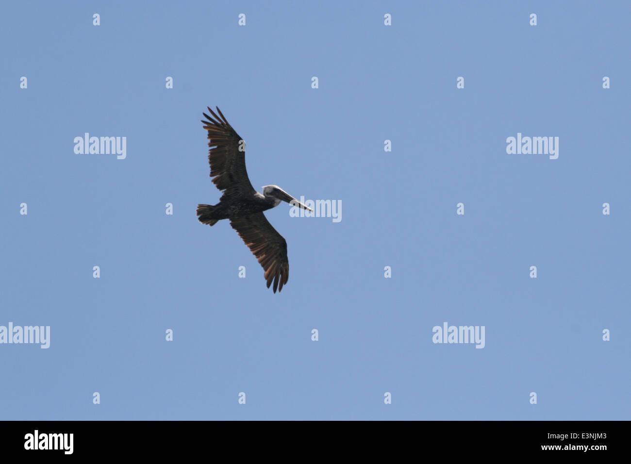 Pelikan in der Luft - Stock Image