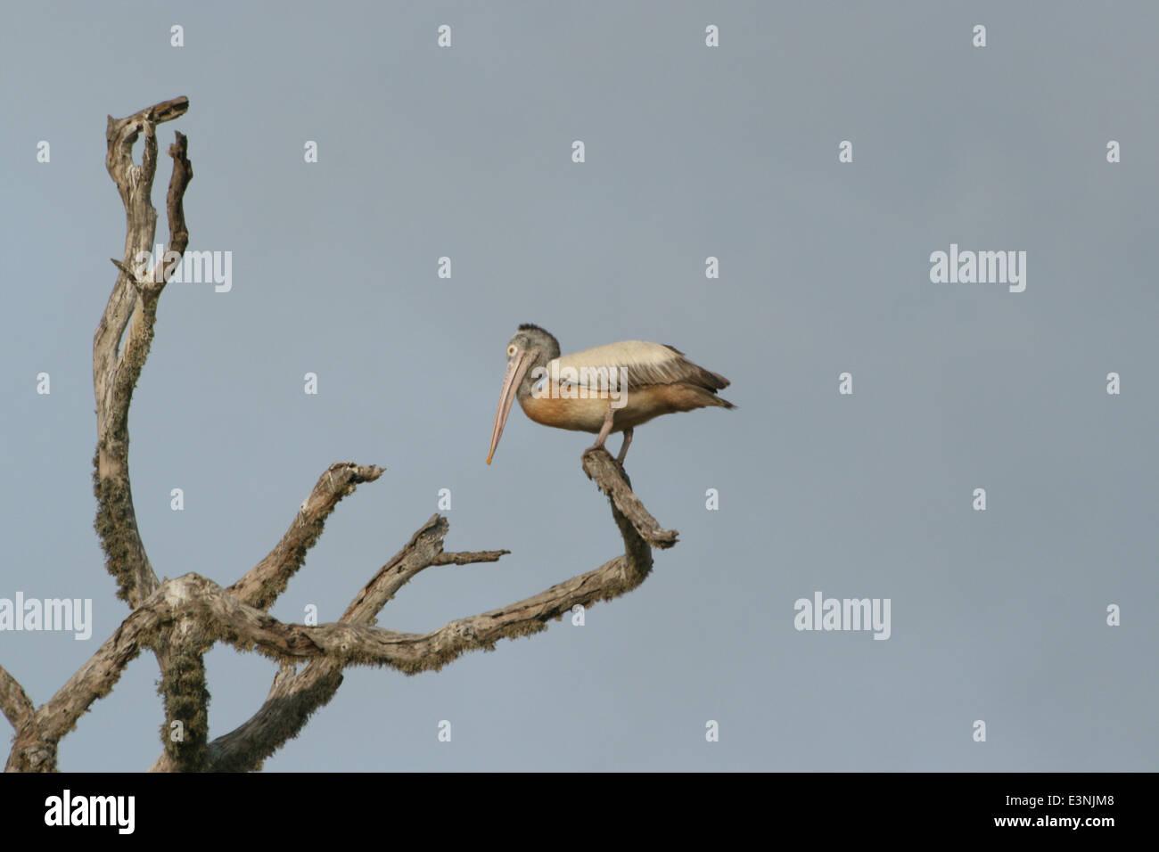 Pelikan auf dem Baum - Stock Image