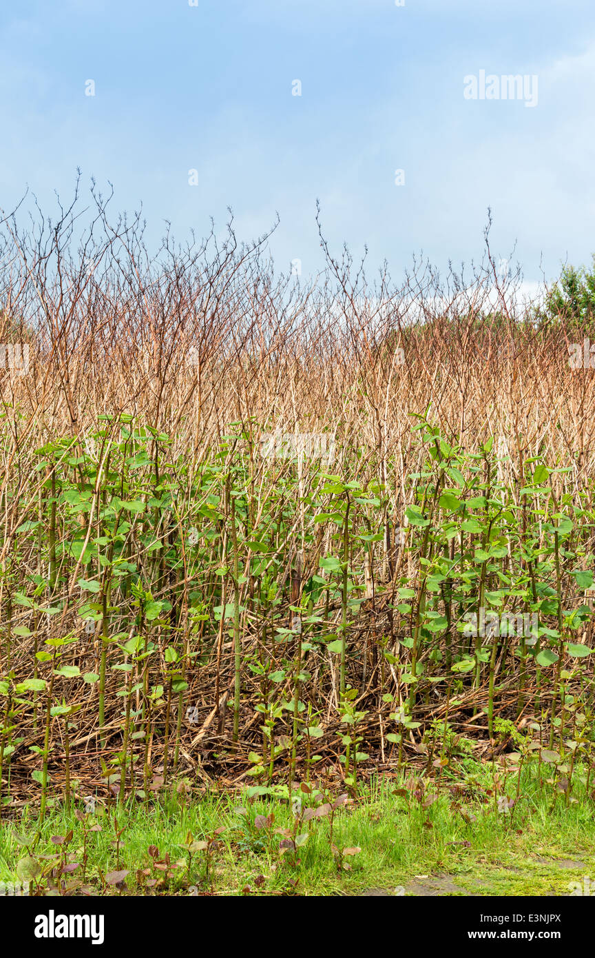 Japanese Knotweed In Your Garden: Fallopia Japonica Flower Stock Photos & Fallopia Japonica
