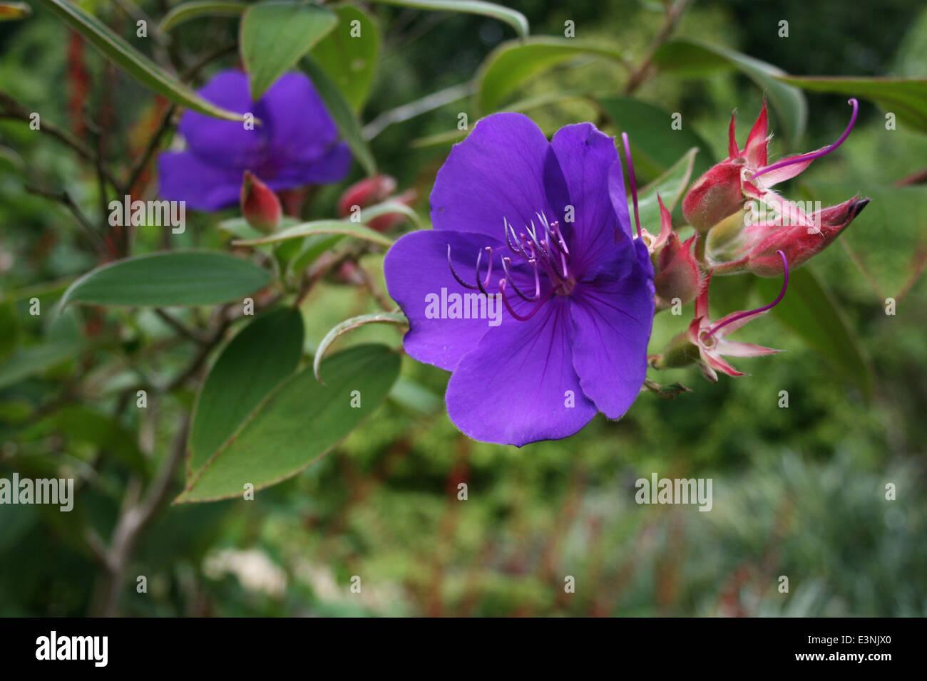 Prinzessinnenblume violett - Stock Image