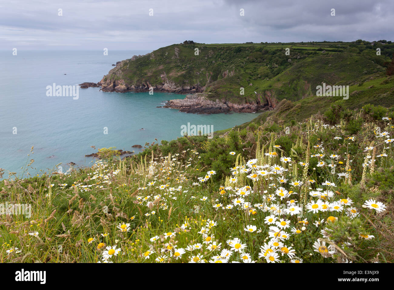 Cliffs covered in oxeye daises Petit Bot Bay Guernsey - Stock Image