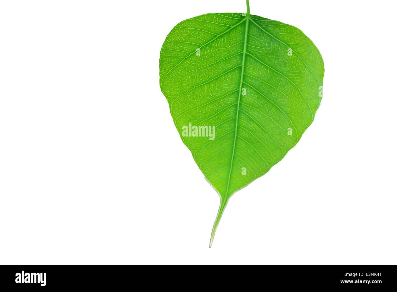bodhi, tree, bo, leaf, nature, natural, buddha, sacred, fig, gautama, gaya - Stock Image