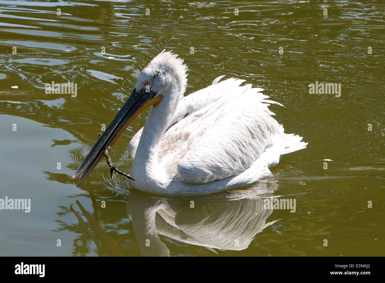 Pelikan - Stock Image