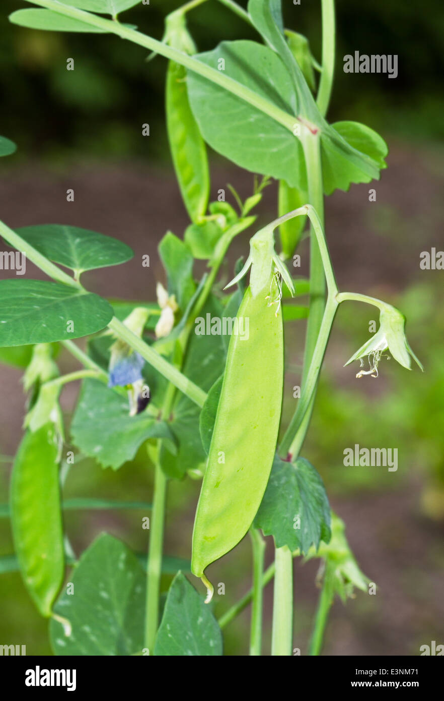 Peapods and a flower on a Garden pea plant - Stock Image