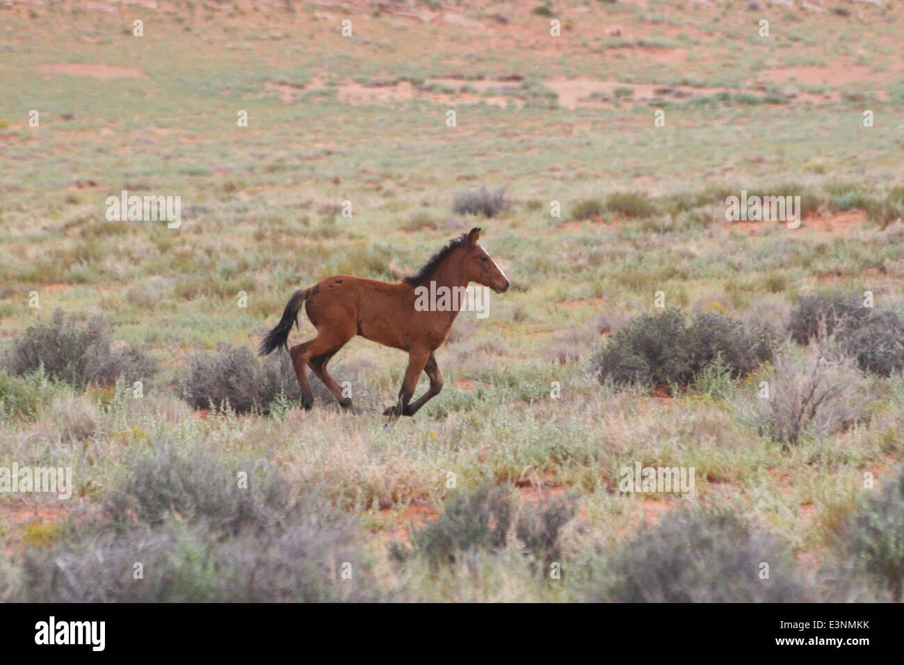Wildpferd Fohlen - Stock Image