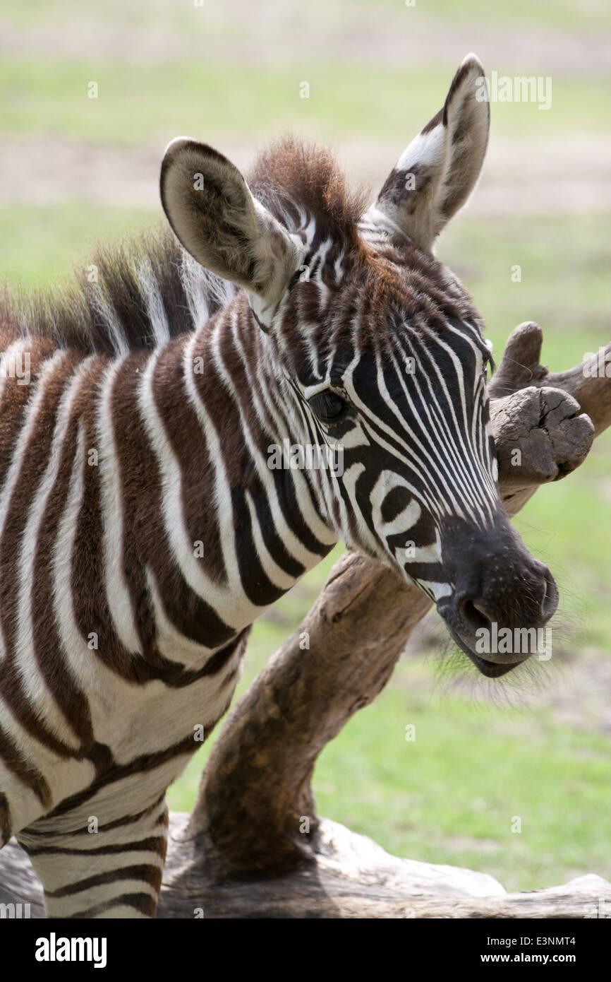 Zebrafohlen - Stock Image