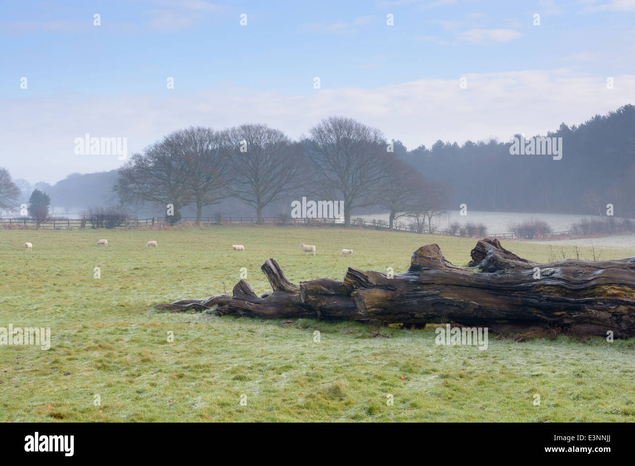 A fallen tree, grazing sheep trees and fences on a frosty foggy field. Shropshire England - Stock Image