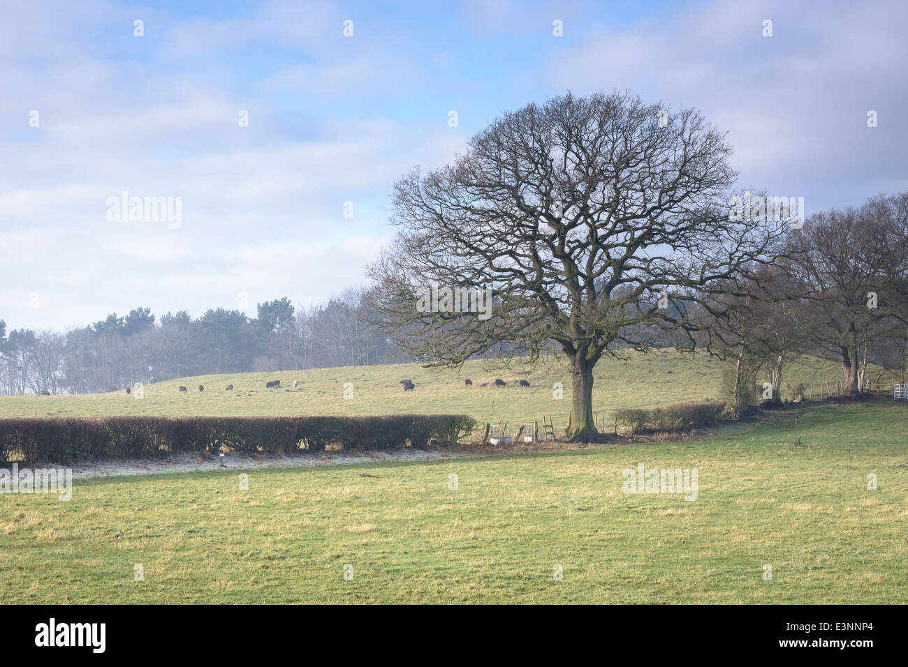 Frosty foggy field, fences and trees. grazing black sheep. Shropshire England. - Stock Image