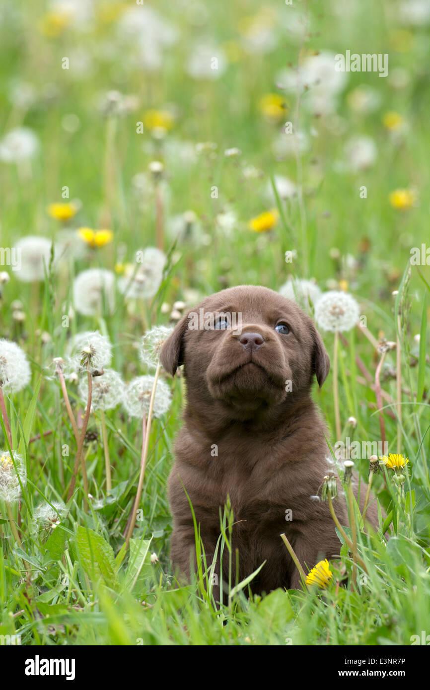 Chocolate Labrador Retriever puppy dog - Stock Image