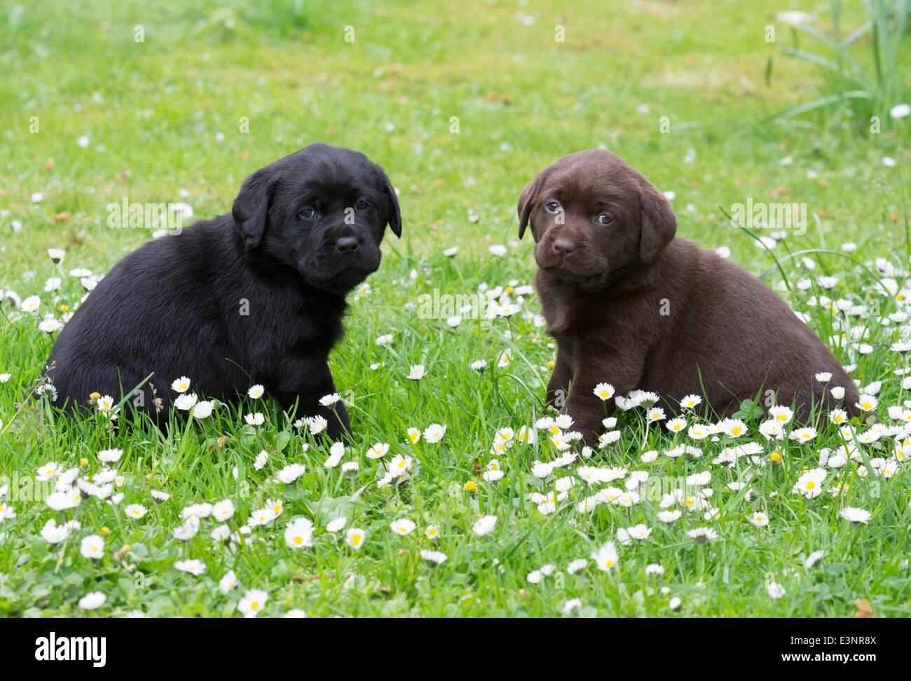 Black and chocolate Labrador Retriever puppies - Stock Image