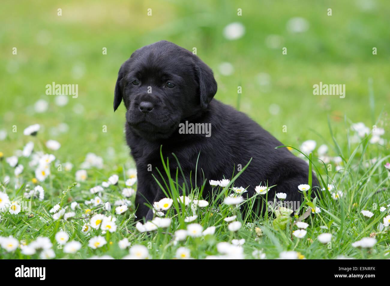 Labrador Retriever puppy dog - Stock Image