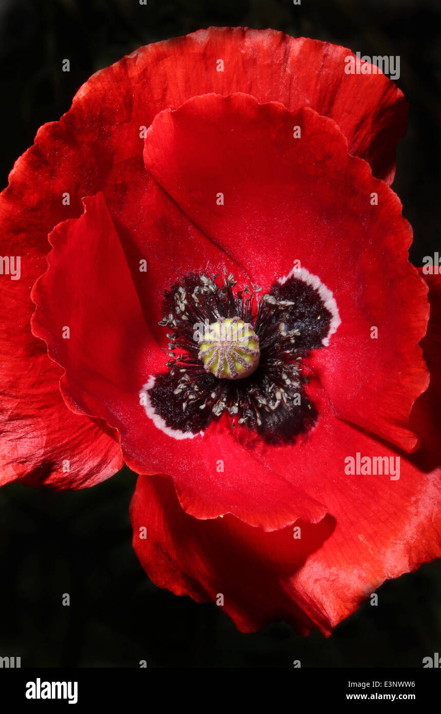 A Close Up Of A Poppy Flower With A Black Background Stock Photo