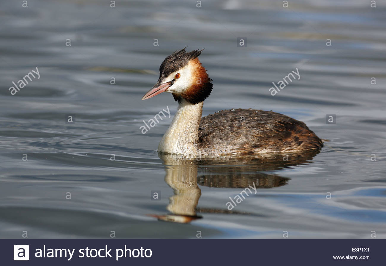 Great Crested Grebe portrait - Stock Image