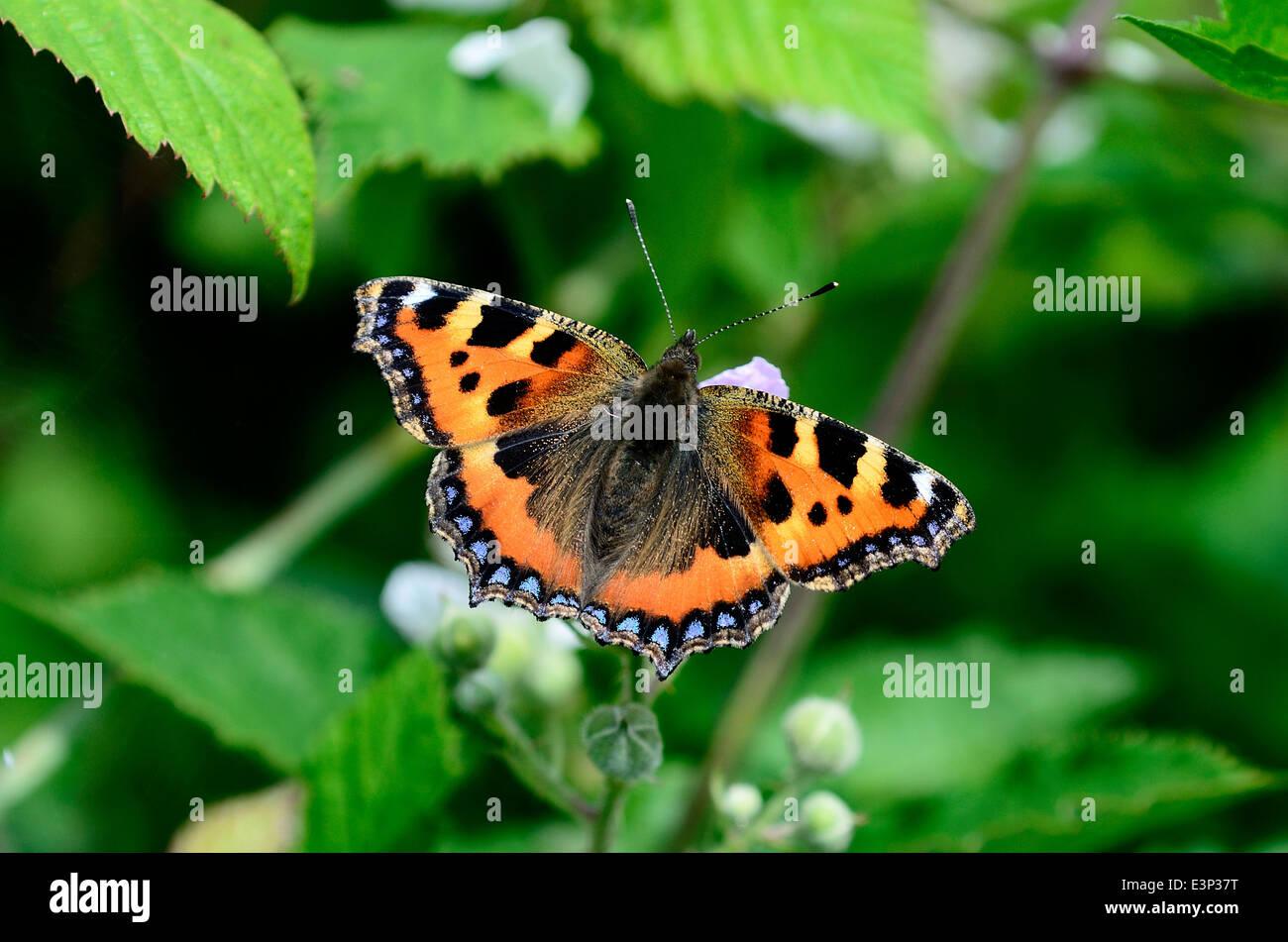 Small tortoiseshell butterfly - Stock Image