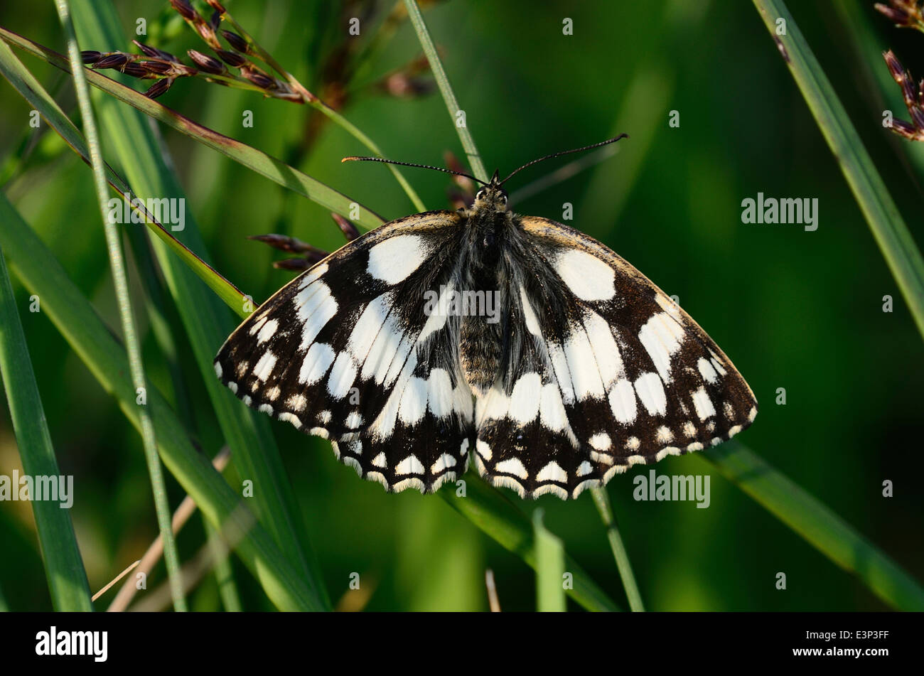 marbled white butterfly (melanargia galathea) at rest - Stock Image