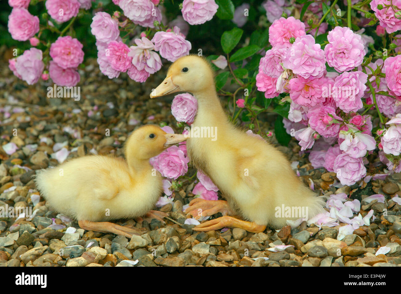 A brood of Ducklings at a week old - Stock Image
