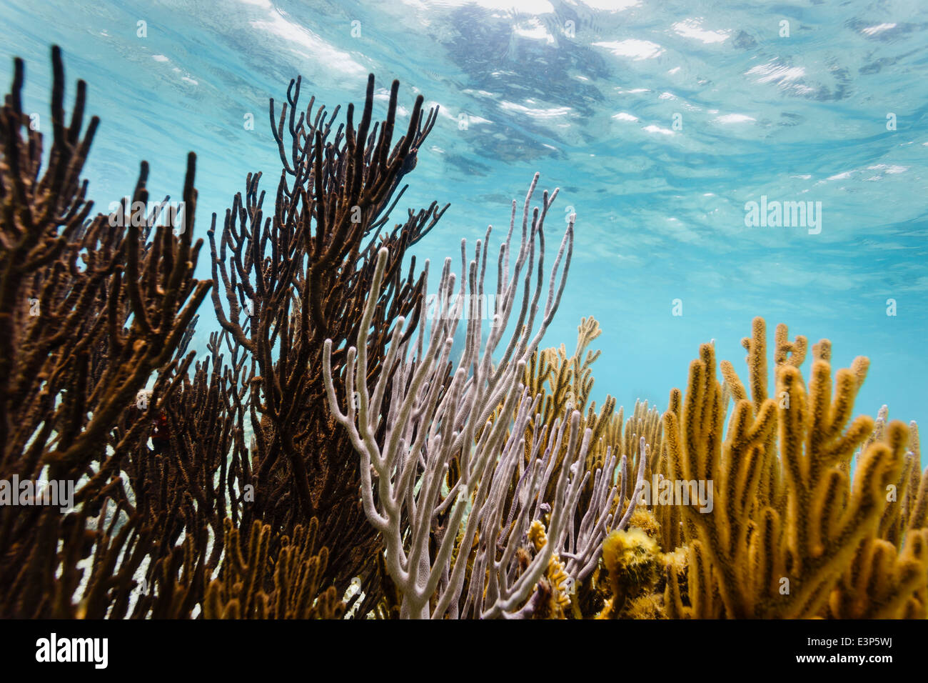 Close up underwater view of colorful branch corals living on the coral reef off the east coast of Belize - Stock Image