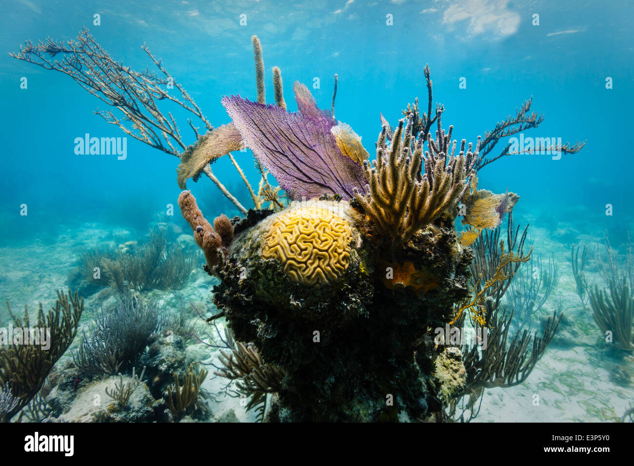 Colorful yellow brain coral head surrounded by branch coral, purple sea fan and stony coral on coral reef off east - Stock Image