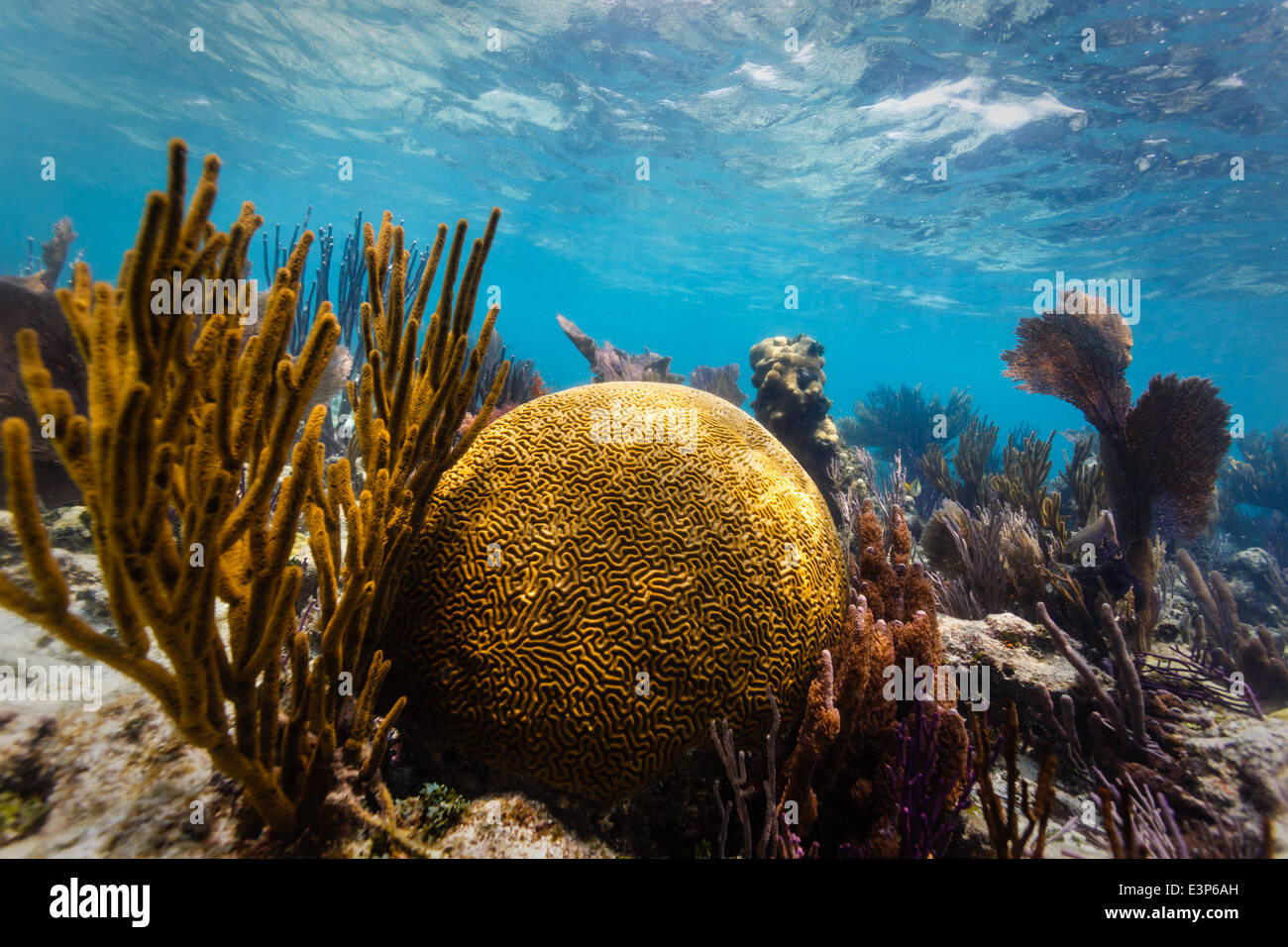 Close up of large round brain coral and branch coral on tropical coral reef in Caribbean Sea - Stock Image